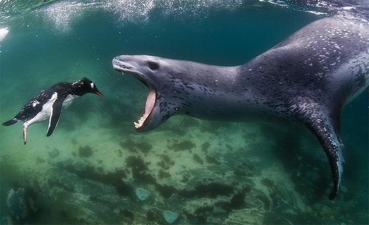 Морской леопард и пингвин
