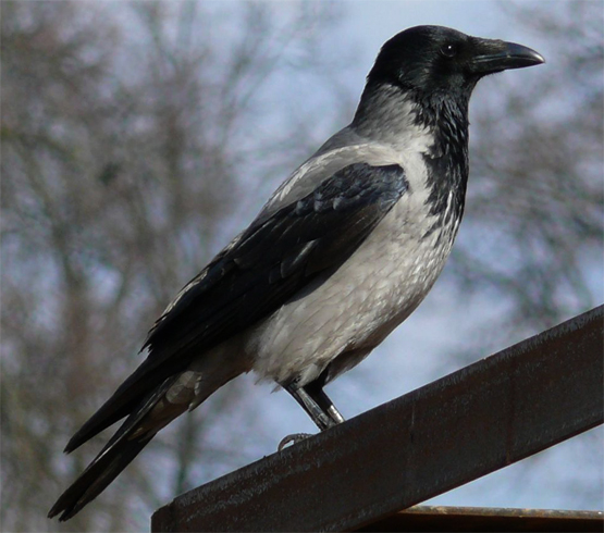 Ворона сидит