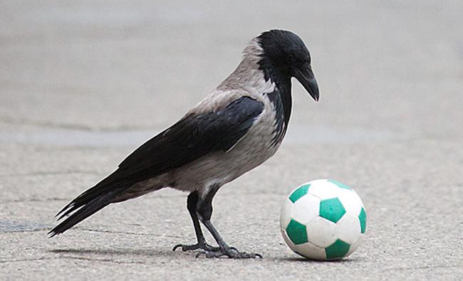 Ворона играет