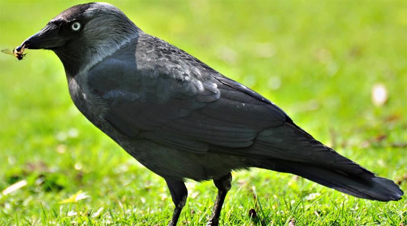 Ворона с добычей