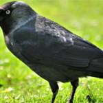 Удивительные факты из жизни ворон