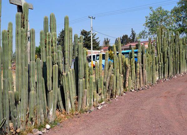 Забор из кактусов