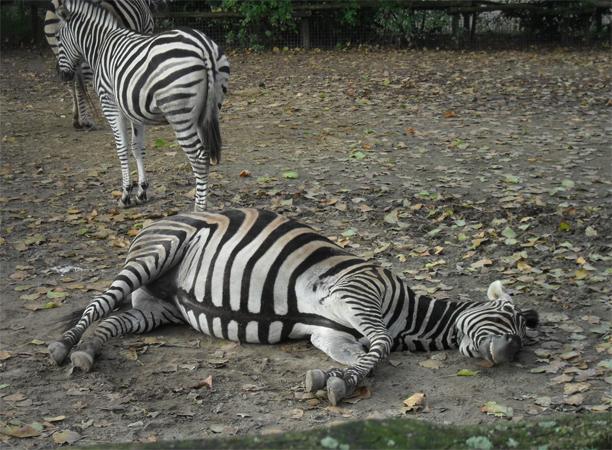 Зебра спит