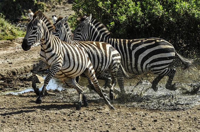 Зебра бежит