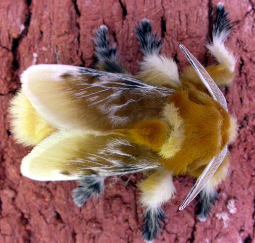Волосатая гусеница моли Кокетки