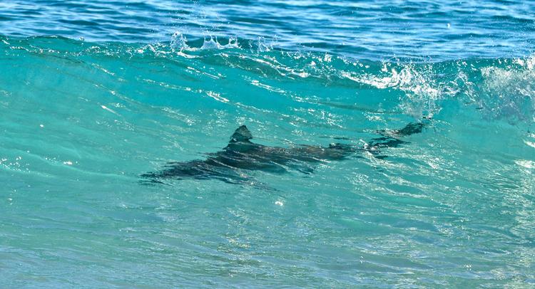 Акула рядом с пляжем