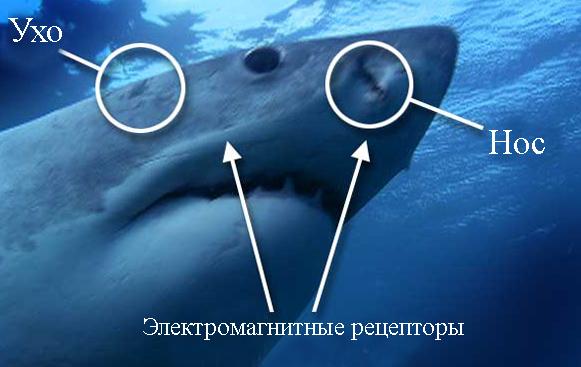 Органы акул