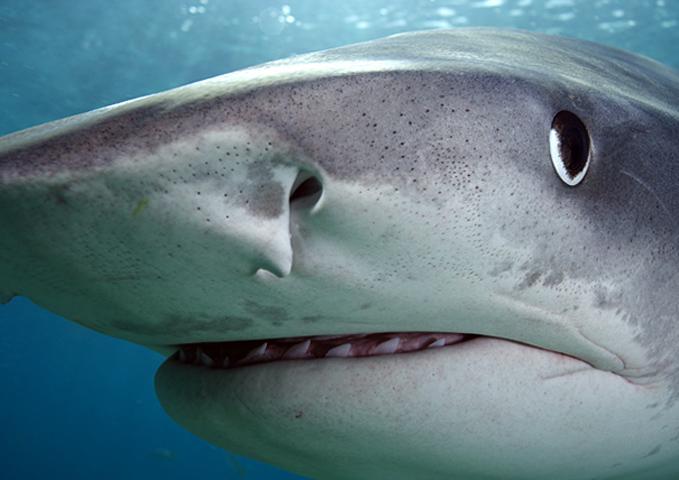 Глаза акулы