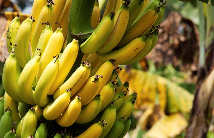 Бананы растут