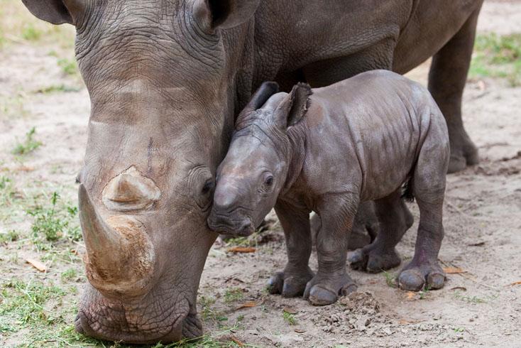 Носорог с ребенком