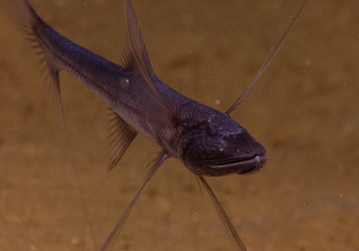 Рыба тренога