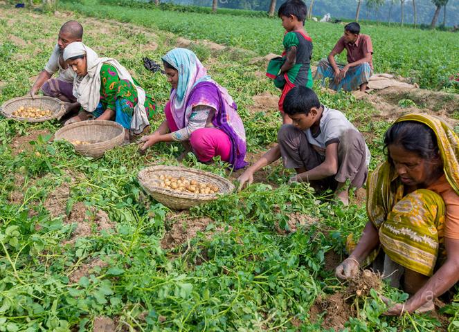 Картошка в Бангладеше