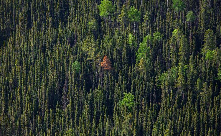 Леса Канады