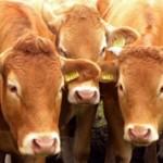 Самые интересные факты о коровах