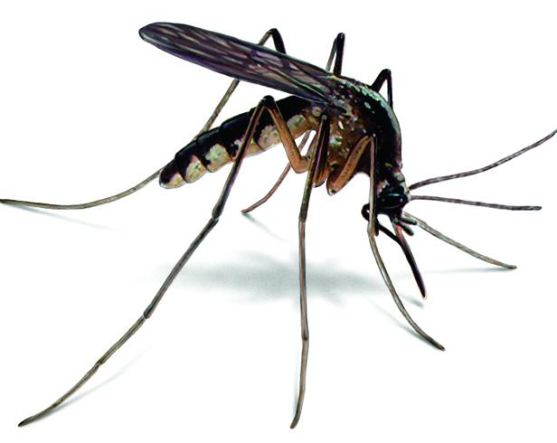 Черный комар