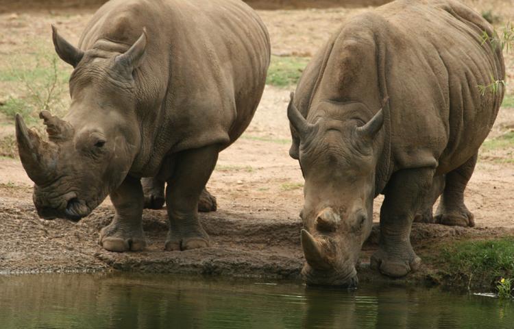 Носороги пьют