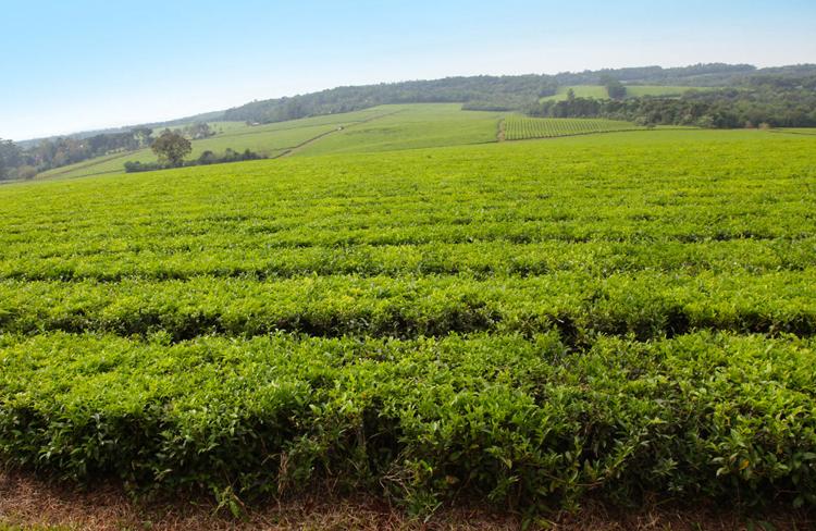 Чай в Аргентине