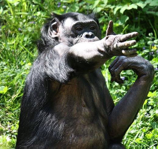Жесты приматов