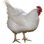 Интересные факты про курицу