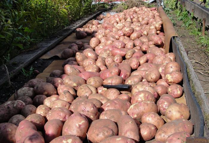 Картошка в Украине
