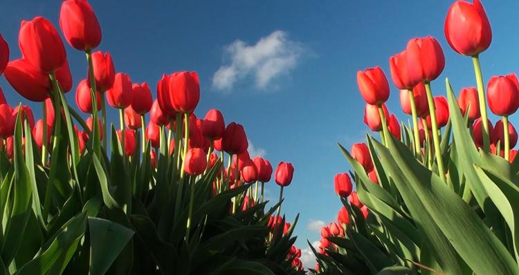 Красивые тюльпаны