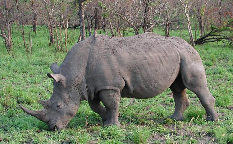 Носорог кушает