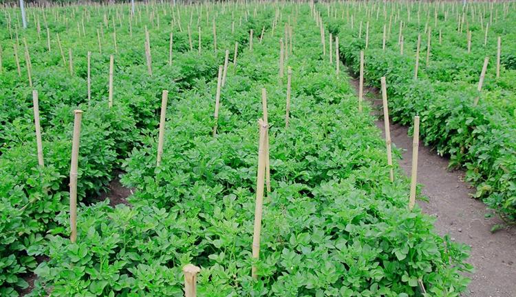 Картошка в Индии
