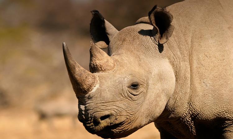 Рог у носорога