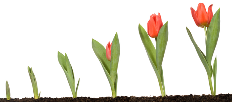 Рост тюльпана