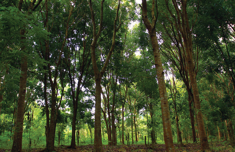 Леса Индонезии