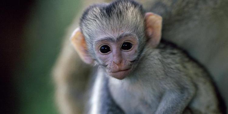 Детеныш примата
