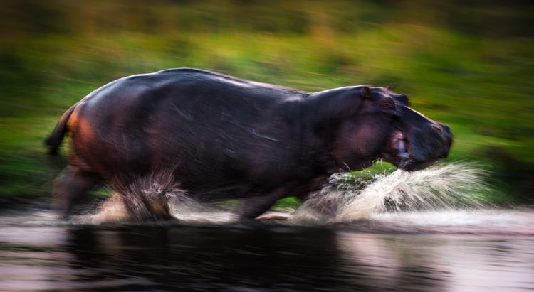 Бегемот бежит