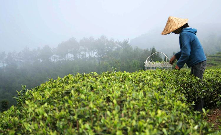 Сбор чая в Китае