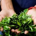 Страны мировые лидеры по выращиванию чая