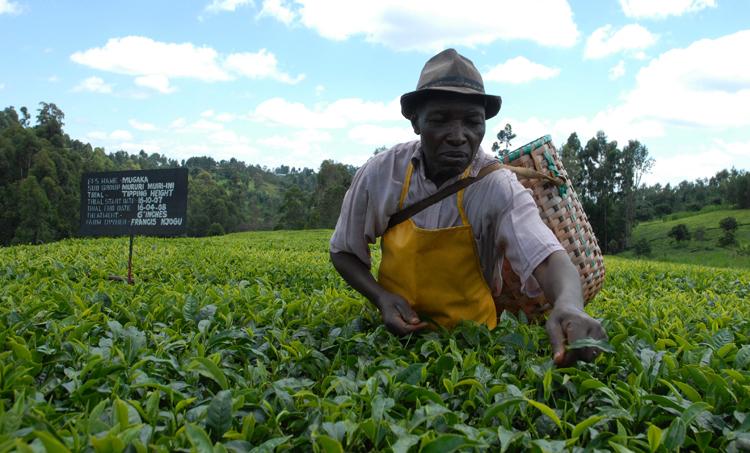Выращивание чая в Кении