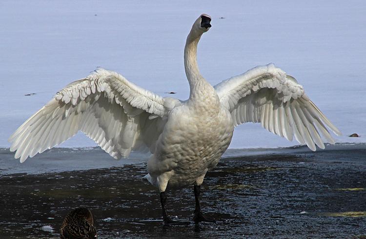 Перья лебедя