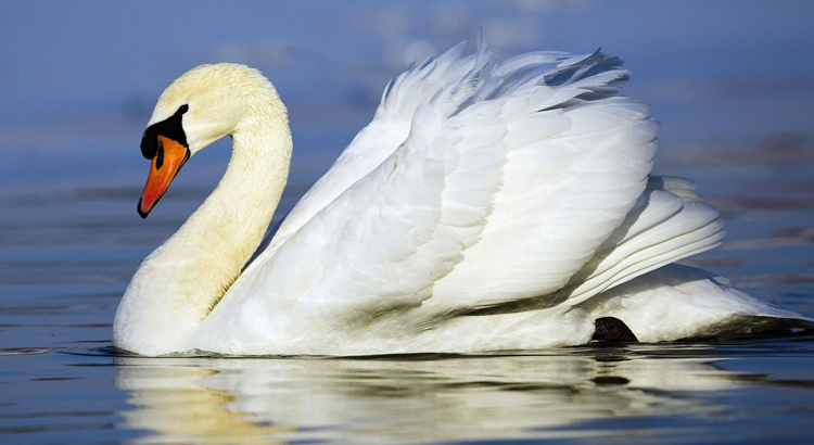 Лебедь плывет