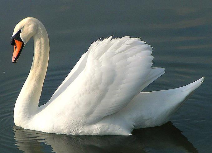 Шея лебедя