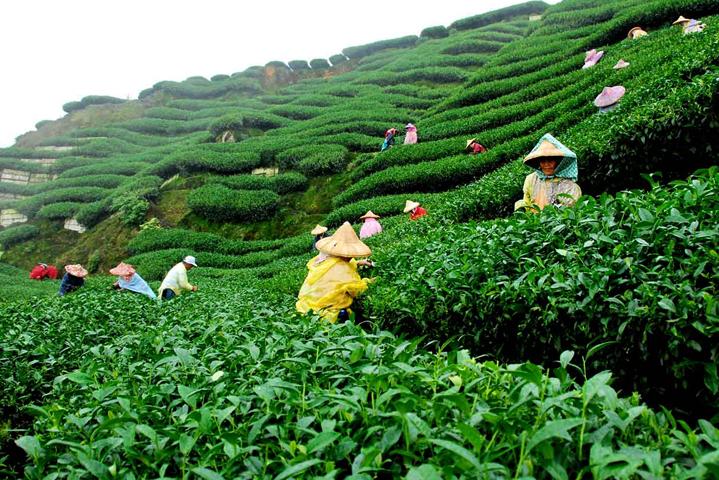 Чай в Индонезии