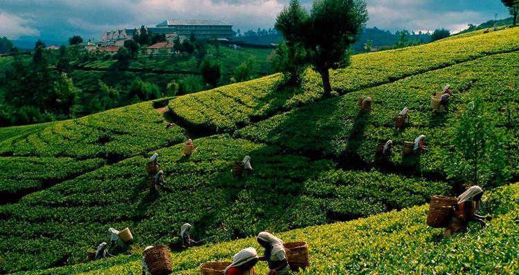 Чай на Цейлоне