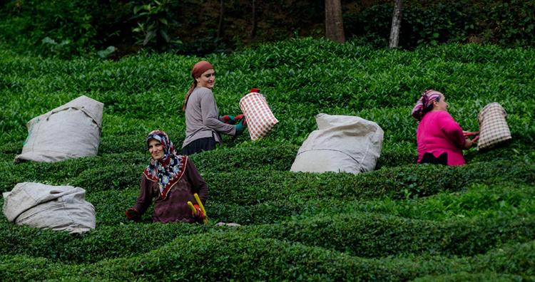 Плантации чая в Турции