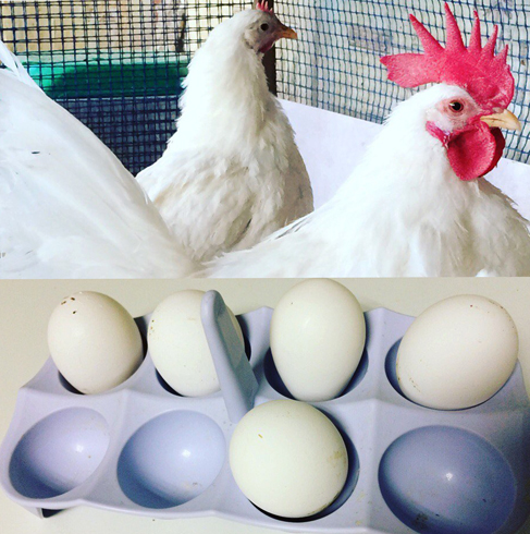 Яйца и куры
