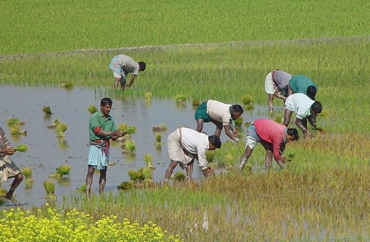 Рис в Бангладеше