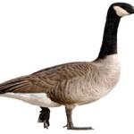 Самые интересные факты про гусей