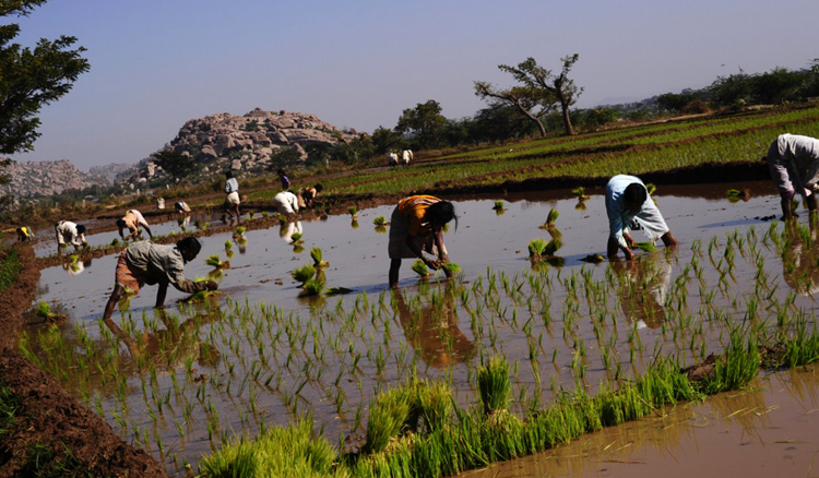 Рис в Индии