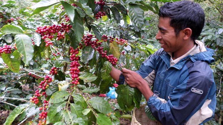 Кофе в Гондурасе