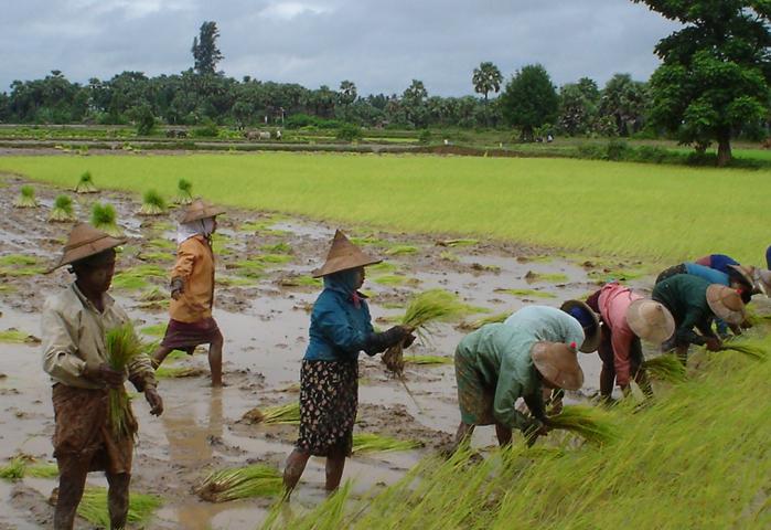 Рис в Мьянме