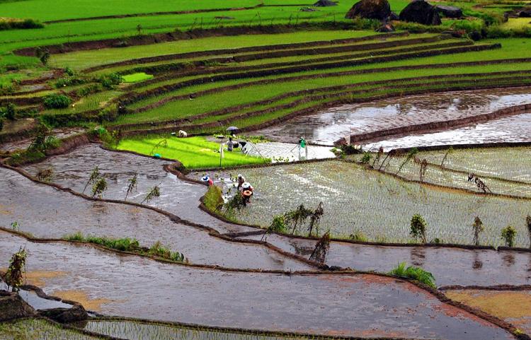Рис в Филиппинах