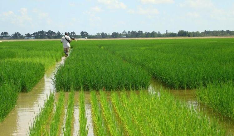 Рис в Бразилии