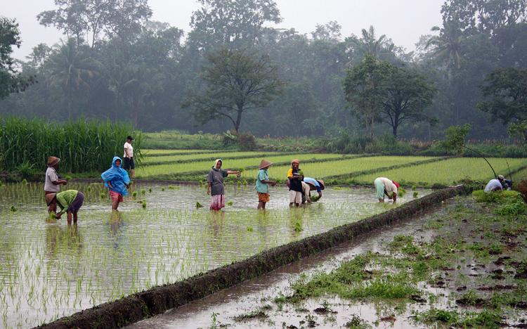 Рисовые поля в Индонезии